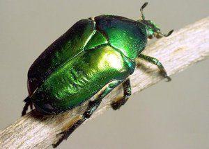 besouro verde totem