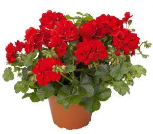 Gerânio planta proteção