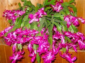Schlumbergera truncata planta
