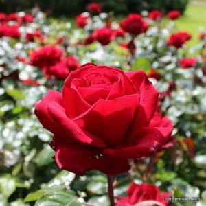 rosas vermelhas paixão