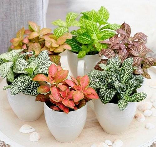 plantas fittonia planta mosaico humor inspiração