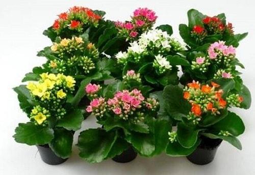 plantas Kalanchoe Flor-da-fortuna cura proteção