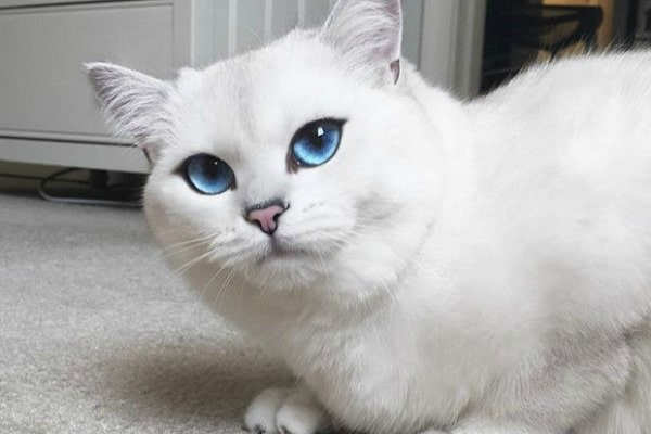 gato branco cores casa