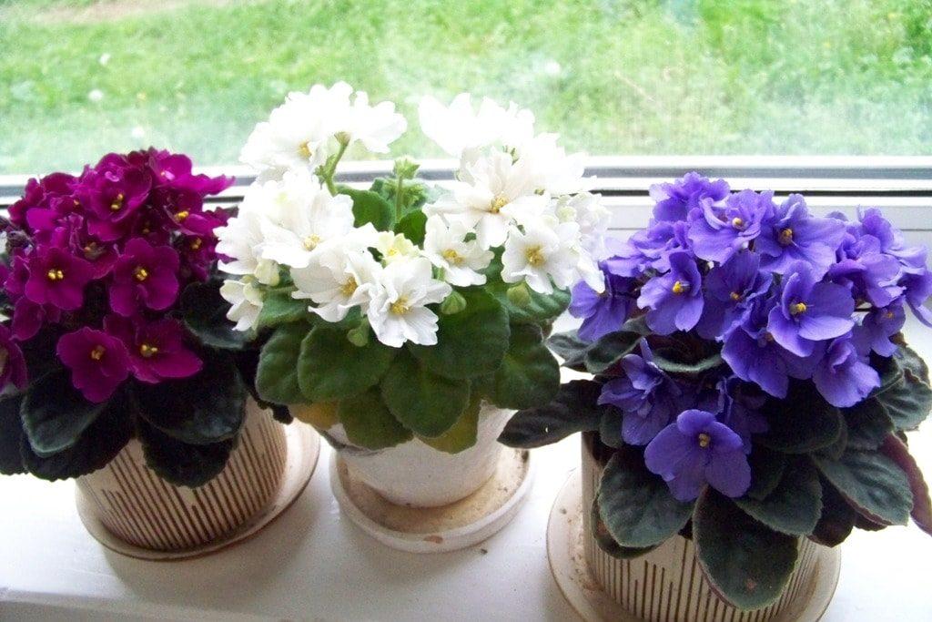 vasos violetas plantio