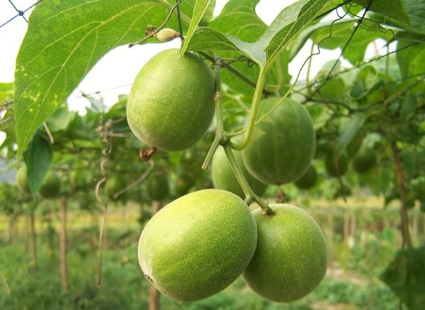Fruta do monge Luo Han Guo dieta saúde diabetes