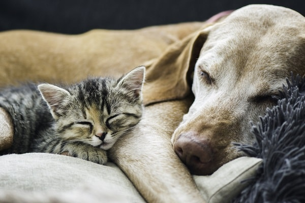 cães gatos pulgas carrapatos aromaterapia tratamento natural