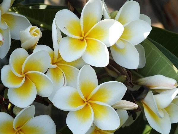 jasmim flor amor pureza magia